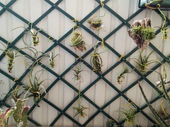 I feel so good when I look at them (hug0ncalves) Tags: airplant airplants air plant plants tillandsias joy photo photography bromeliad bromelia details nature