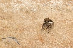 Mimetismo nel vento - Amboseli -