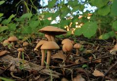 Ground level (TJ Gehling) Tags: fungi mushroom path ohlonegreenway fluviusinnominatus elcerrito