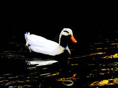 Ducking Out (Steve Taylor (Photography)) Tags: bird duck art digital black yellow white stark orange contrast water lake newzealand nz southisland canterbury christchurch willowbank wildlifereserve reflection americanpekin longislandduck pekinduck ripple