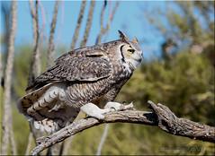 'hit & miss' ~ Explored (d-lilly) Tags: greathornedowl arizona roadtrip3 desert raptors tuscon arizonasonora museum