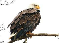 bald eagle at Decorah Fish Hatchery IA 854A1952 (lreis_naturalist) Tags: bald eagle decorah fish hatchery winneshiek county iowa larry reis