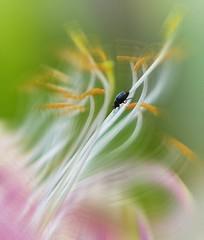 Incy wincy beetle (Mazzlo) Tags: nikon d5500 macromonday beatles beetles honeysuckle motion blur