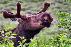 Aw, come on ... just ONE little smooch! (Aspenbreeze) Tags: moose bullmoose wildmoose wildlife wildanimal nature rural outdoors antlers kiss smooch mountains wyoming colorado bevzuerlein aspenbreeze moonandbackphotography ngc