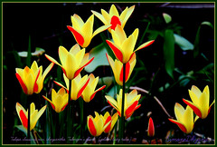 Dans mon jardin Tulipa clusiana (thank you xxx) (Only time heals wounds) Tags: 20160609nouveaumonde tulipaclusianavarchrysanthatubergensgemgoldenladytulip tulipes tulips frames monjardin11ans beautiful spring printemps