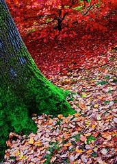 autumnal palette (khrawlings) Tags: westonbirt arboretum gloucestershire autumn seasonal green red orange leaves trees moss dead fallen