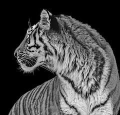 I am the chief! (barfi*) Tags: amurtiger zoo animals