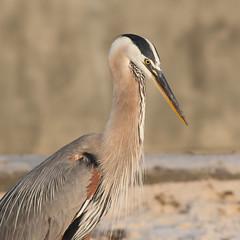 Great Blue Heron (stephaniepluscht) Tags: blue heron flickr gulf great alabama pass lagoon explore ardea shores herodias 2015