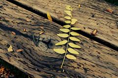 broken symmetry (bluechameleon) Tags: autumn color colour lines bench leaf granvilleisland bluechameleon artlibre sharonwish bluechameleonphotography