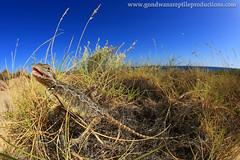 Dwarf Bearded Dragon (Pogona minor) (Rob Valentic - Gondwana Reptile Productions) Tags: sanddune westernaustralia beardeddragon exmouth basking spinifex carlzeiss vintagelens agamidae australianreptiles caperangenp dunescape desertlizards sandandsky triodia pogonaminor leitax coastallimestone robvalentic dwarfbeardeddragon canoneos5dmark3 wareptiles desertmesas gondwanareptileproductions pilbarareptiles spinifexlizards beachlizards aridaustralianreptiles arborealagamidae wagoldfieldsreptiles wapogona dwarfpogona wideanglelizard wideanglereptiles rollei16hft vlaminghheadlighthousereptiles exmouthwapogona agamidaearidzonewa