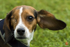 Because beagles! (Mark Kaletka) Tags: rescue dog beagle coonhound
