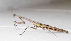 Praying Mantis (ChrisGull) Tags: brazil macro nature closeup mantis insect minas gerais praying closeups mantodea