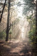 Morning Mist 6 (Bartek Kuzia) Tags: morning trees light sun mist fog forest path poland rays kampinos