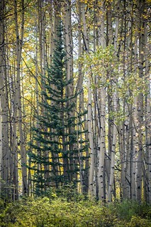 Pine Among the Aspens, Telluride, CO