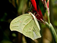 White Angled Sulphur (d_taron) Tags: mexico butterflies michoacán pieridae coliadinae anteos anteosclorinde