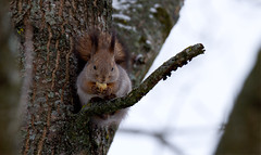 Lunask (Lunch) (Olavi Hiieme) Tags: red squirrel vulgaris orav sciurus