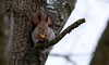 Lõunasöök (Lunch) (Olavi Hiiemäe) Tags: red squirrel vulgaris orav sciurus