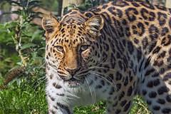 Leopard_W4C4641 (Jayne Bond Photography) Tags: animals cat canon wildlife spots leopard bigcat bigcats amurleopard wildlifeheritagefoundation whf canon5d3 wildlifeheritagefoundationuk