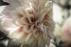 Ribeteada (seguicollar) Tags: flower blanco dalia jardín ribetes nikond5200 virginiaseguí