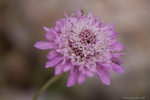 Random Flora, Rapid Bay, SA (Scabiosa)
