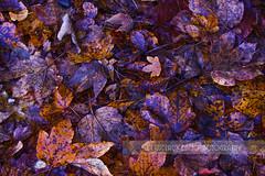 Horario de invierno  :( (www.claudiavicencio.com) Tags: autumn leaves automne hojas otoo charming