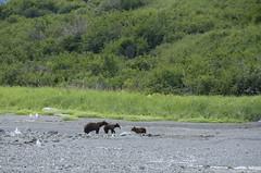 20150809_eerste beren gespot (Travel4Two) Tags: alaska c0 s0 verenigdestaten 5000k adl0