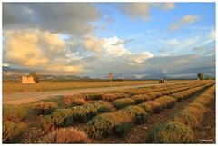 Plateau de Valensole - Herbst (Babaou) Tags: france frankreich landwirtschaft paca provence suedfrankreich lavendel alpesdehauteprovence valensole provencealpescôtedazur lavendelfeld plateaudevalensole labatie2015