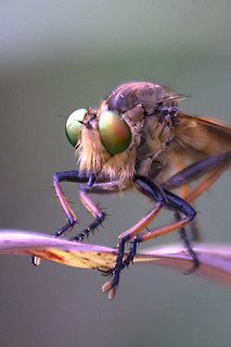 Robberfly on the Leaf