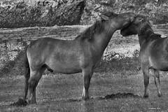 Millingerwaard (NL) - Pferdekuss (Babaou) Tags: nederland rhine rhein niederlande waal gelderland niederrhein konik millingen millingerwaard konikpaarden geldersepoort kekerdom konikwildpferde