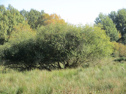 Weide, Ostufer Steinhuder Meer , NGID236511901