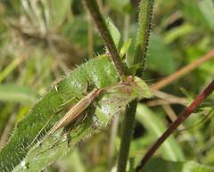 Italian tree cricket (rockwolf) Tags: france insect cricket orthoptera charente 2015 rockwolf oecanthuspellucens carrièresdetouvérac italiantreecricket