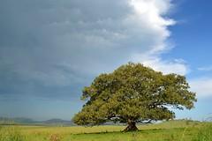 Moreton Bay Fig (dustaway) Tags: sky landscape lonetree paddock moretonbayfig moraceae ficusmacrophylla figtreelane australiantrees pelicancreek cumulonimbusincus afternoonlandscape