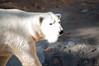 _DSC9044 (KateSi) Tags: bear blackandwhite bw white black animals zoo oso colorado bears denver polarbear animales polar denverzoo bjorn ours osos isbjorn bjorner