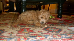 dont-mind-me-under-hereim-just-eating-my-milkbone--marley-is-one-of-kenzies-f1b-toy-doodles-_4886220817_o