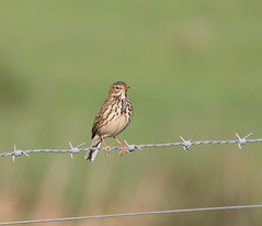 Songthrush at Darts Farm - Topsham (jane_haslam) Tags: elements