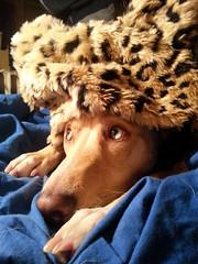 Peke ♥ (lobotomyzed) Tags: winter dogs pharaohhound soulmates