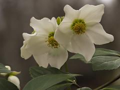 PB280284 (turbok) Tags: alpenpflanzen pflanze schneerosechristroseoderweihnachtsrosehelleborusniger wildpflanzen c kurt krimberger