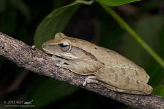 Polypedates leucomystax_MG_5870 copy (Kurt (OrionHerpAdventure.com)) Tags: amphibian frog amphibians commontreefrog polypedatesleucomystax polypedates fourlinedtreefrog frogsofmalaysia