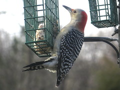 Red-bellied Woodpecker feeding on Woodpecker Treat SUET IMG_4054 (Ted_Roger_Karson) Tags: camera friends red male bird birds animal animals yard canon miniature back illinois backyard woodpecker hand zoom seed feeder powershot telephoto redbelliedwoodpecker held pocket northern suet hs compact redbellied twop backyardbirds backyardanimals 30x backyardfriends handheldcamera sx700 thisisexcellent canonpowershotsx280hs