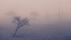 Trees in a Dream 2/2 (or: Mein Freund, der Baum) (K M V) Tags: trees fog nebel dream arbres nebbia bäume träd dimma träume sumu treesinfog dimmigt arboli dreamylandscape meinfreundderbaum trädidimma puitasumussa unimaisema