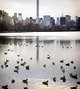 Reservoir Residents (Joe Josephs: 3,166,284 views - thank you) Tags: nyc newyorkcity water birds skyline architecture centralpark manhattan ducks centralparknewyork waterreflections urbanparks jacquelinekennedyonassisreservoir joejosephs joejosephsphotography