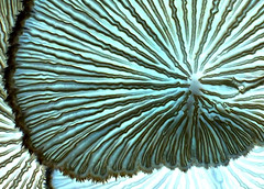 Inverted Abstract of Split Gill Fungi (bugldy99) Tags: macro mushroom outdoors fungi growth negative fungus inverted gill