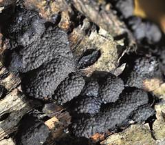 Birch Woodwart - Hypoxylon multiforme