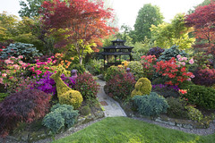 The joy of spring colours - in late evening sunlight (Four Seasons Garden) Tags: four seasons garden uk england west midlands walsall spring 2016 japanese maples acers leaves azalea flowers ornamental conifers colour red stone ornament foo dog wooden pagoda
