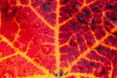 IMG_8959 (manleyaudio) Tags: canon5dmark2 canon 5dmarkii 5dmkii 100mm macro 100mml l lens fall leaves color water drops rain