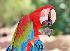 HAHA.. That's funny!! (Amro Afifi) Tags: macaw magic funny expresion photooftheday amroafifi amro colorful wildlife