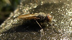 Defrosting Fly..x (lisa@lethen) Tags: hover fly frozen frost feet ice morning nature autumn insect