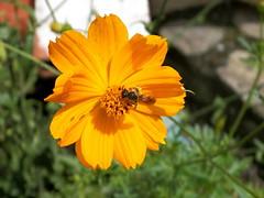 101_2925 (Cassiope2010) Tags: cvennes nature fleur cosmos insecte eutolmusrufibarbis