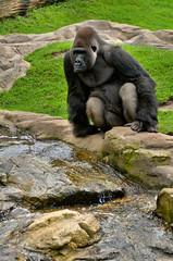 Zoo Hannover (Gelegenheitsknipser) Tags: marcopagel mpfotonet gelegenheitsknipserde 2010 hannover zoo tierpark tiere tier erlebniszoohannover niedersachsen ni h norddeutschland deutschland affe affen primaten menschenaffen gorilla