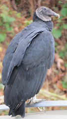 Black Vulture (Sunsades) Tags: blackvulture conowingo maryland vultures sx50 canon birds largebirds harfordcounty dam
